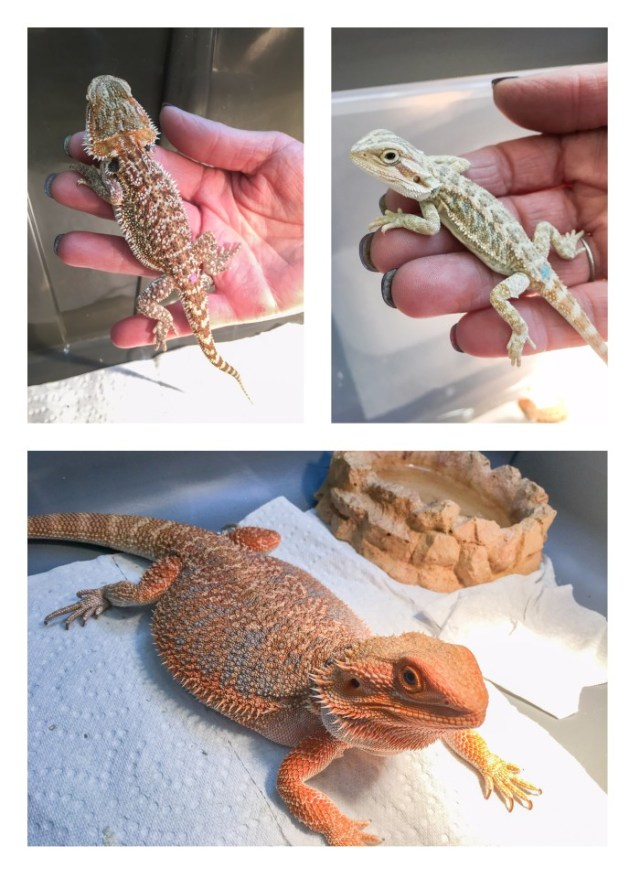 Bearded dragons for sale at the Spring 2017 Wasatch Reptile Expo