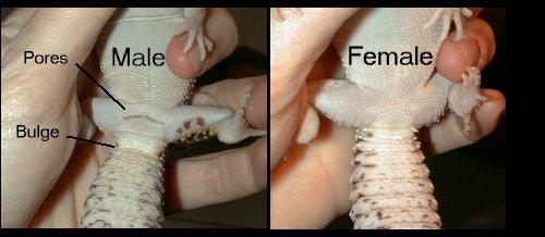 leopard gecko sexing comparison