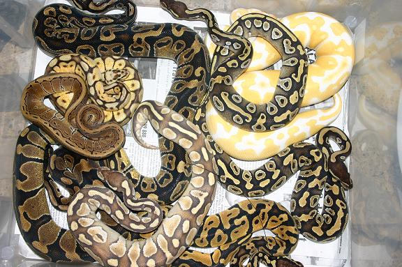 ball python care guide - morphs