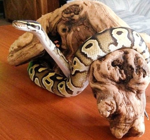 ball python terrarium decorations - ball python with branch
