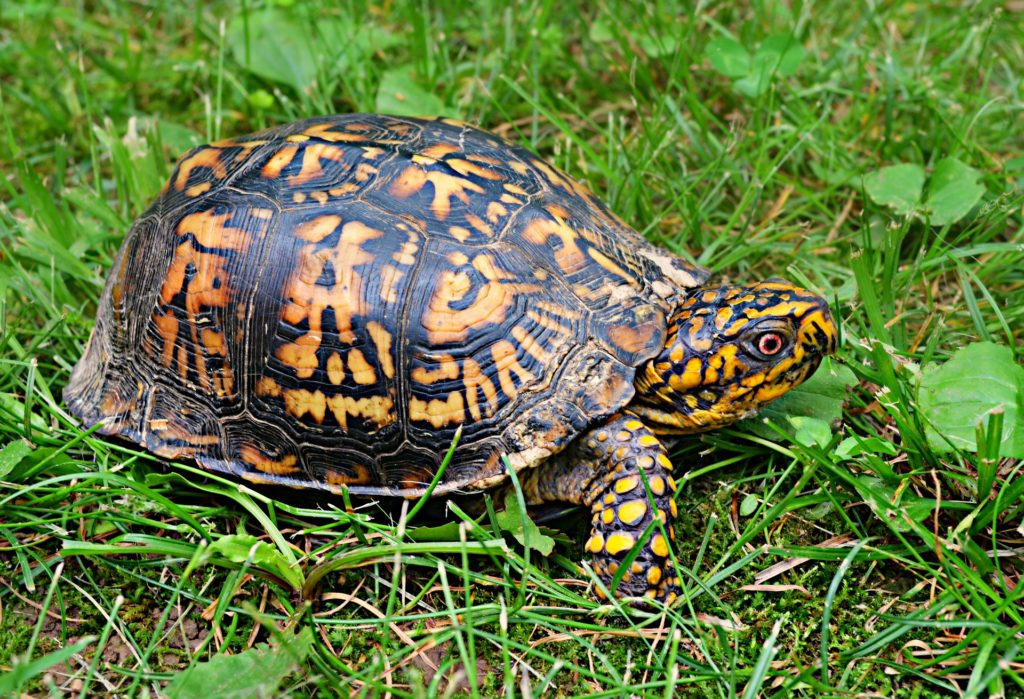 Do Turtles Make Good Pets?   ReptiFiles