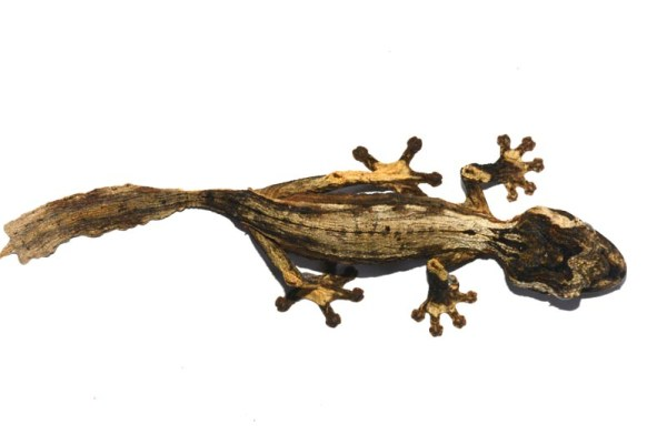 Uroplatus guentheri, leaf-tailed gecko species