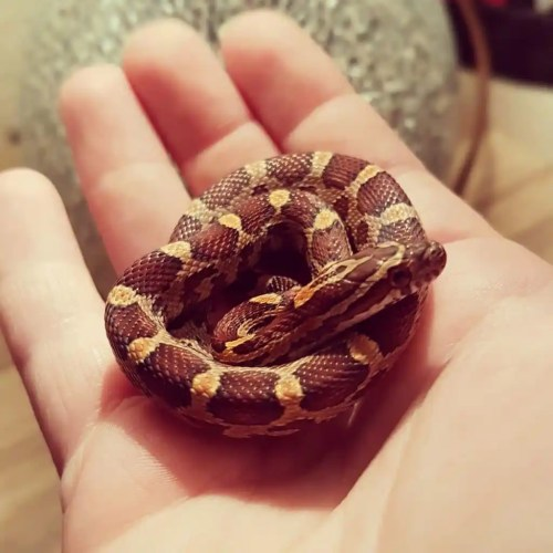 Corn snake handling - snake is showing signs of timidity