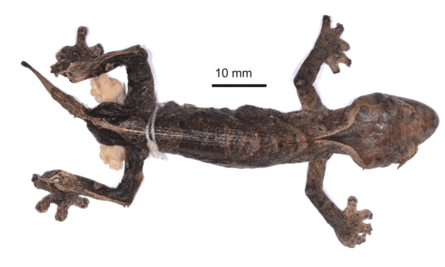 Uroplatus species — Uroplatus kelirambo