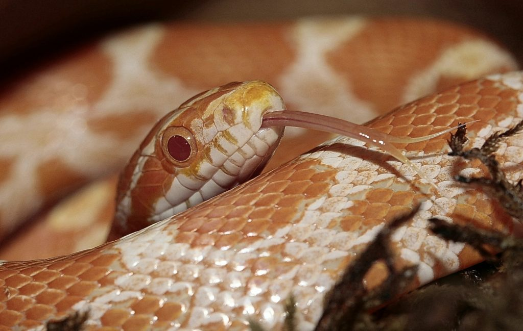 Corn Snake Temperatures & Humidity Requirements | ReptiFiles