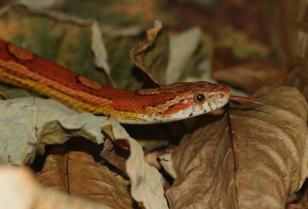 Corn snake terrarium size guide - leave lots of room for cruising