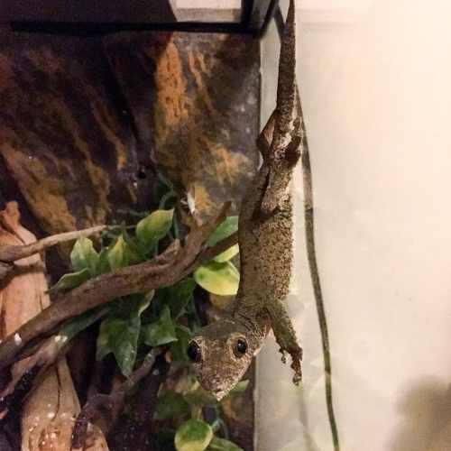 Female Uroplatus sikorae demonstrating the bug stare - leaf-tailed gecko body language