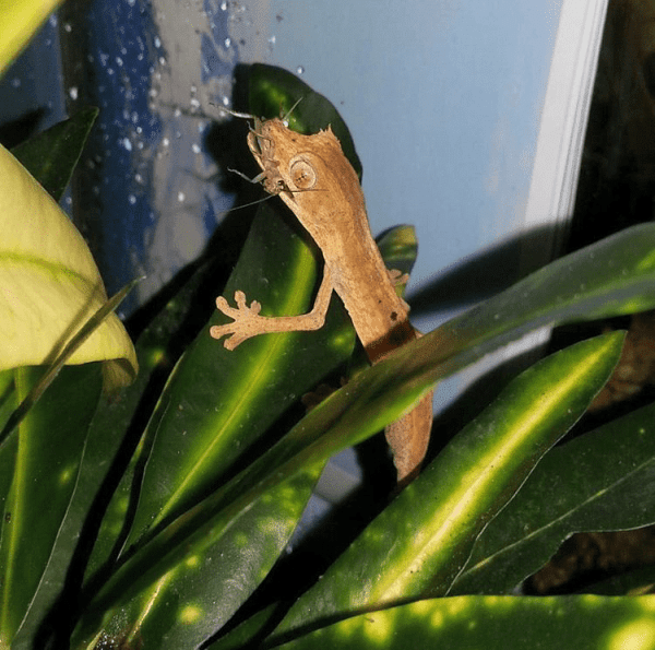 Hatchling Uroplatus lineatus with a cricket - leaf-tailed gecko food