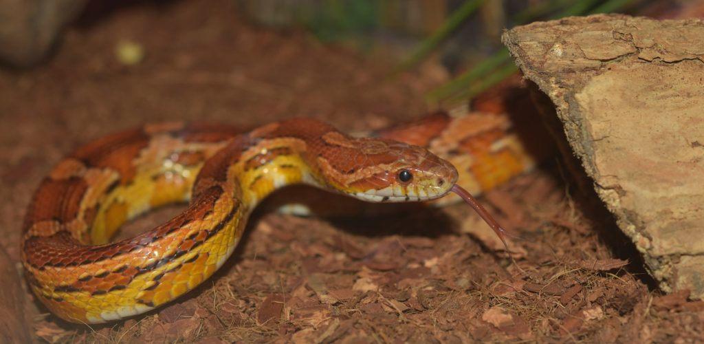 Corn Snake Substrate Options | ReptiFiles' Corn Snake Care Guide