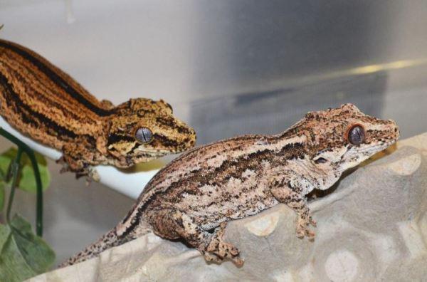 superstripe and aberrant stripe gargoyle geckos - gargoyle gecko humidity requirements