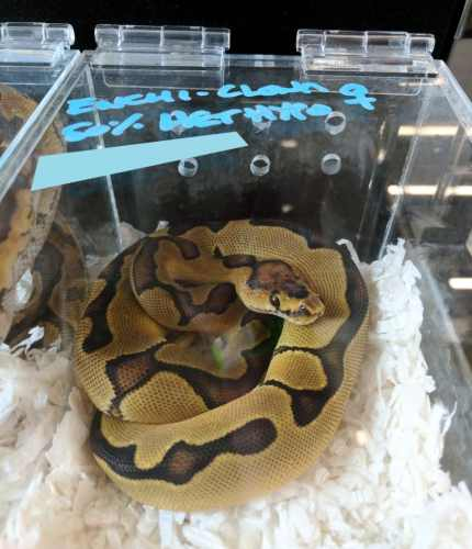 Inked Up Reptiles enchi clown ball python - Fall 2017 Wasatch Reptile Expo top 10