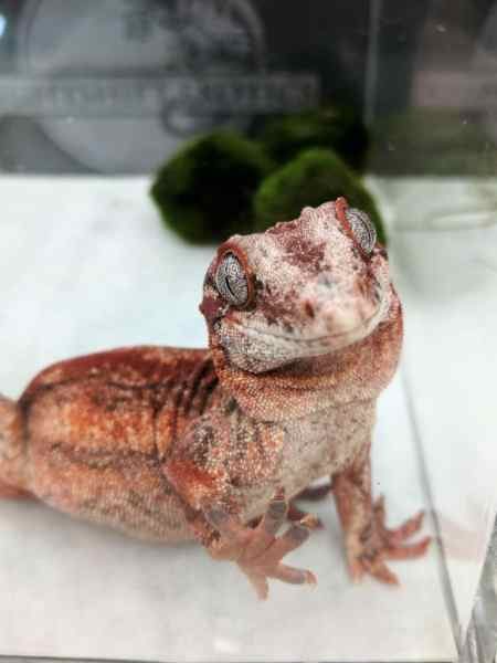 Nightshift Exotics, red gargoyle gecko breeder - Fall 2017 Wasatch Reptile Expo top 10