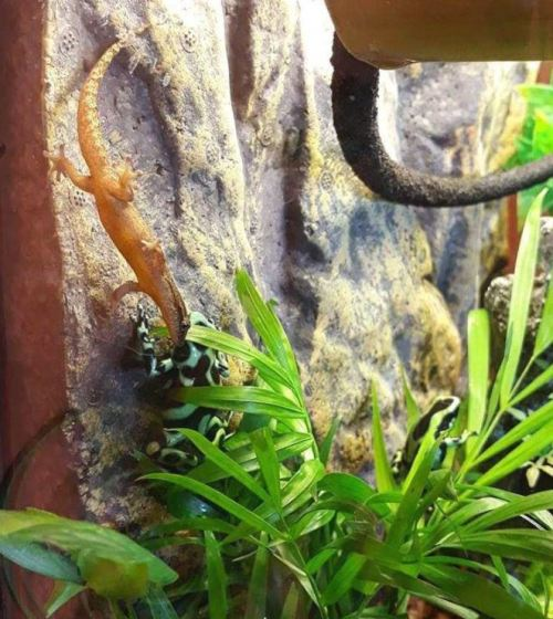 The Ultimate Mourning Gecko Care Guide - mourning gecko vivarium information