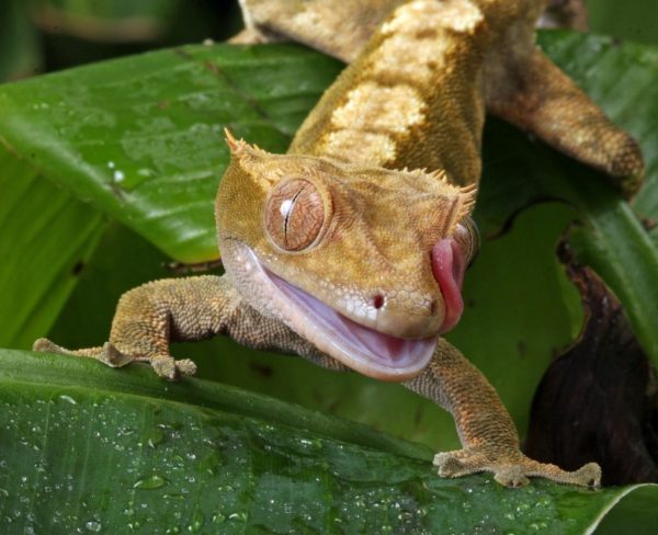 The ReptiFiles Guide to Crested Gecko Care