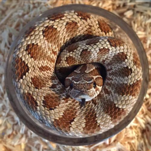What Do Hognose Snakes Eat? — hognose snake curled up in its water bowl