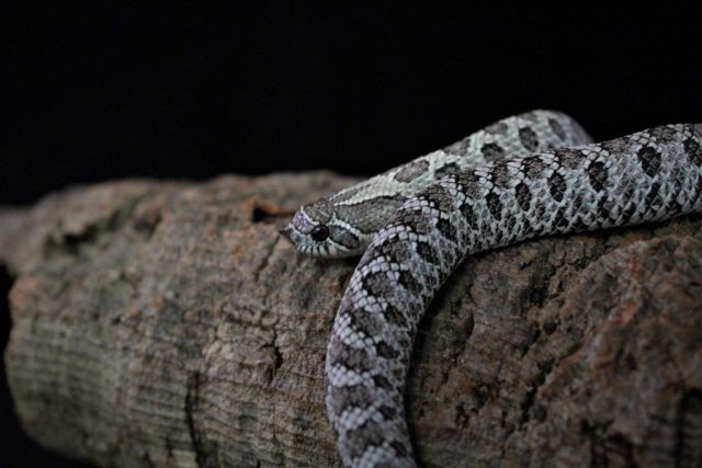 Axanthic het lavender western hognose (photo by Trey Campbell) — The Hognose Snake Care Guide