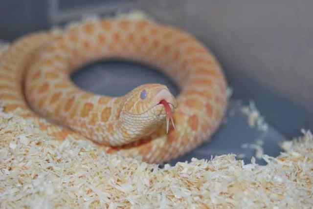 Western hognose snake shedding