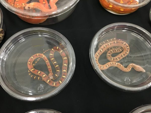 Wasatch Reptile Expo Spring 2018