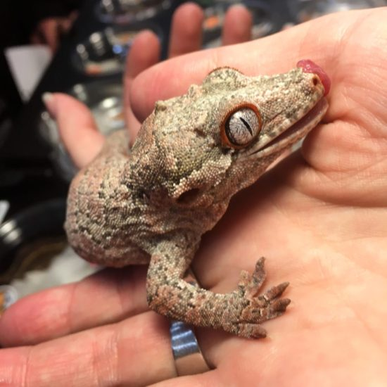 Wasatch Reptile Expo Fall 2018 - Nightshift Exotics