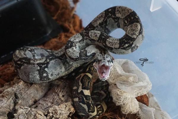 Boa constrictor behavior - defensive posture