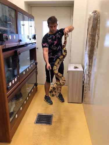 Boa constrictor handling with a snake hook