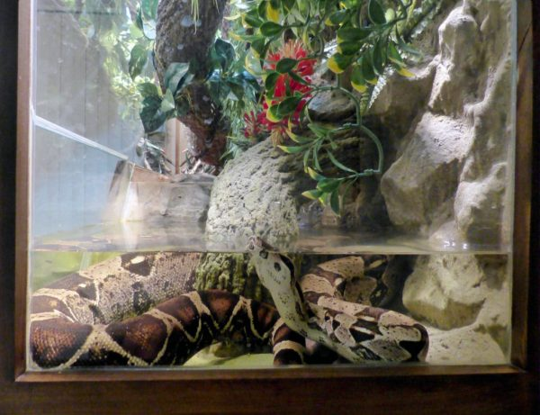 Boa Constrictor Humidity Requirements - boa soaking in water dish