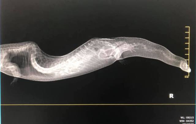 blue tongue skink with spinal deformity - x ray