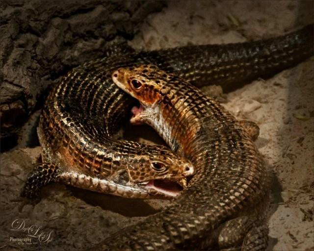 sudan plated lizard enclosure - why cohabitation is a bad idea