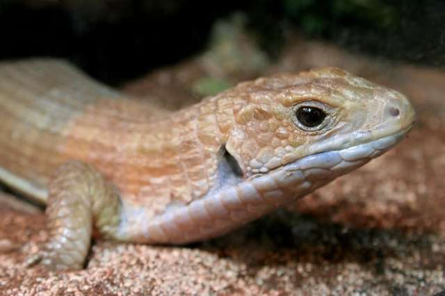tawny rough-scaled plated lizard