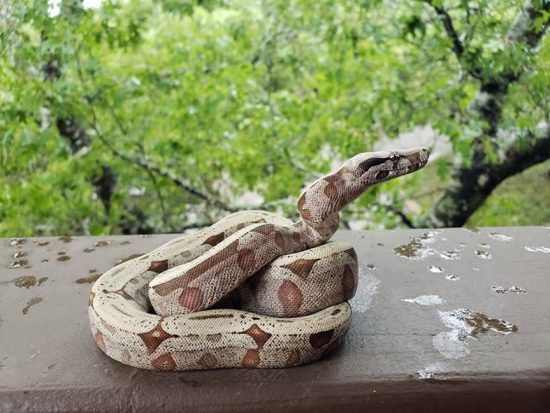 Red-Tailed Boa Starter Kit/Supplies List - boa posing on balcony