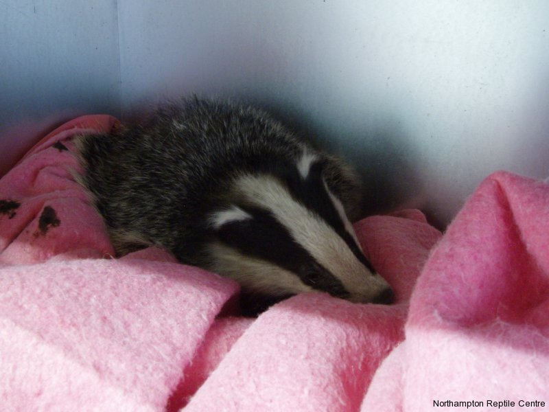 Image result for sick badger