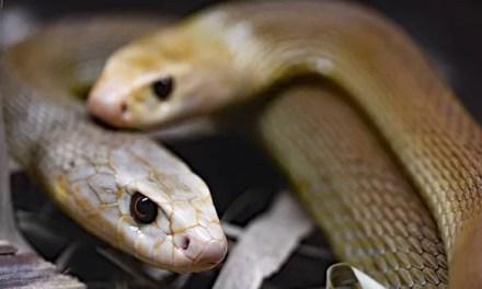 Handling Aggressive Snakes