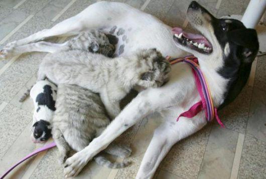 <B>Brasile, cagnetta adotta cuccioli di tigre</B>