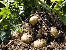 Sì alla patata modificata   Bruxelles apre agli Ogm