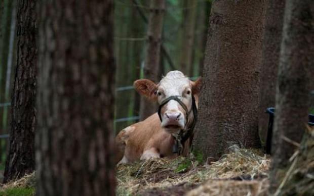 Yvonne, la mucca in fuga idolo dei social network