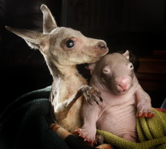 La storia del canguro e del vombato: orfani e amici