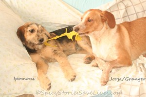 Ipomoni and foster sister Jorja (now named Granger) played nonstop with each other and other rescued pooches at our home in Kefalonia while they waited to be re-homed by wonderful Dutch group Stichting AAI.