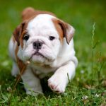 British Bulldog Puppies For Sale Pet Adoption And Sales