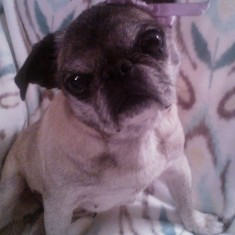 Lilac the Pug (a video)