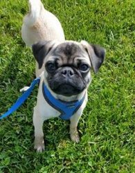Brent the pug surrender picture