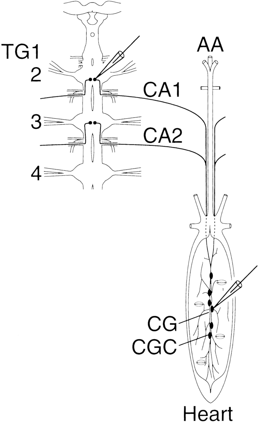 Schematic drawing of the central nervous system cns dorsal view