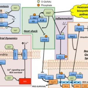 OGlcNAc is involved in the cellular stress response Glucose and   Download Scientific Diagram