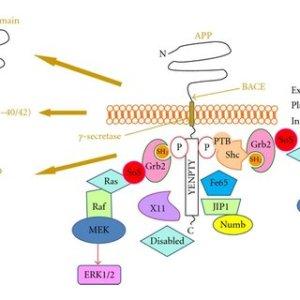 Schematic representation of AβPP processing, the adaptor proteins | Download Scientific Diagram
