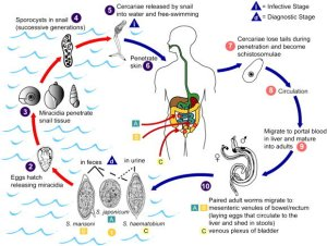 Schistosome life cycle The stages of the schistosome life