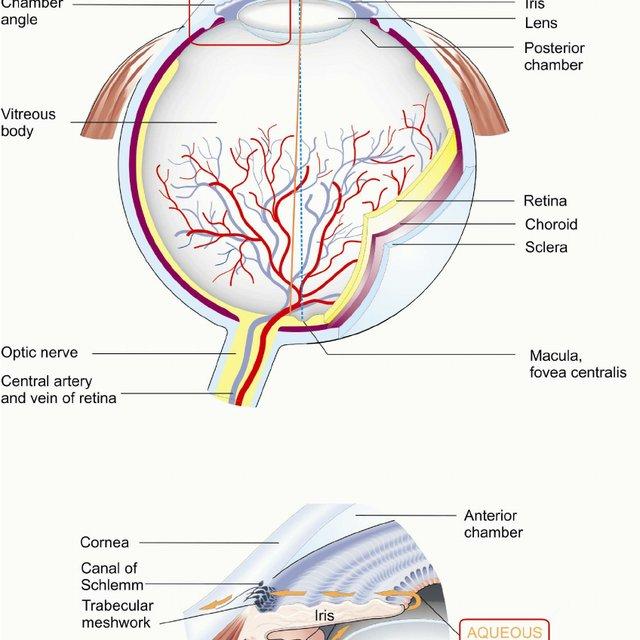 Scale Model Of Human Eye