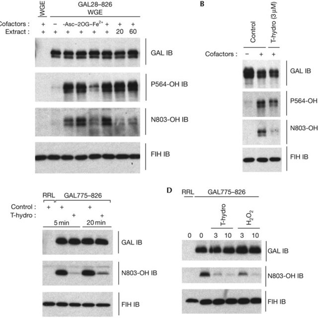Assay Of Cellular Phd And Fih Activity Reveals Differential And