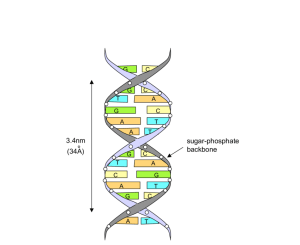 6: Illustration of a nucleotide and a DNA strand