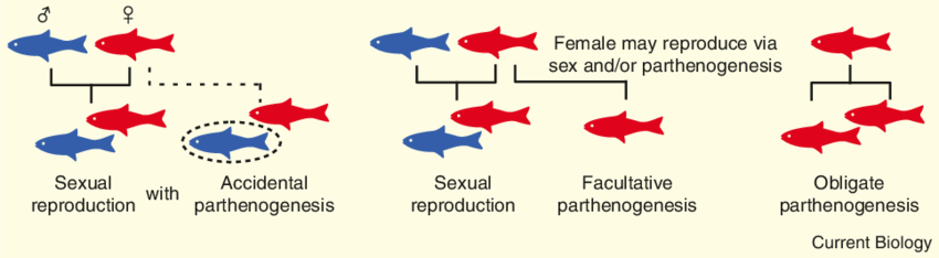 The Efficiency Of Parthenogenesis Varies Widely