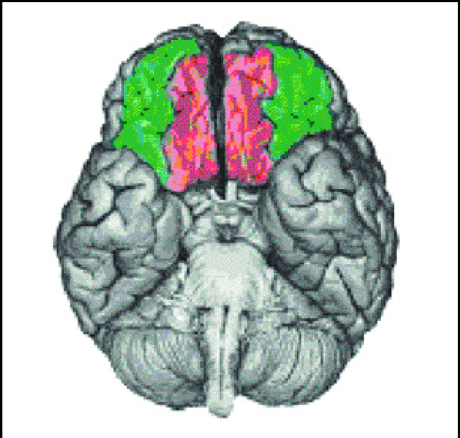 Orbital prefrontal cortex in green and ventromedial prefrontal cortex...    Download Scientific Diagram