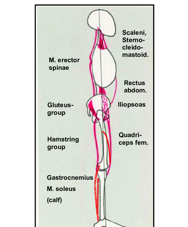 Schematic Drawing Of The Postural I E Weight Bearing
